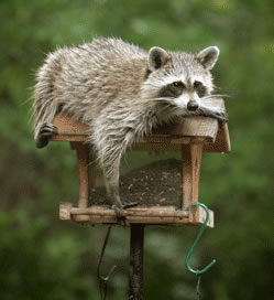 A raccoon eating the food from a bird feeder