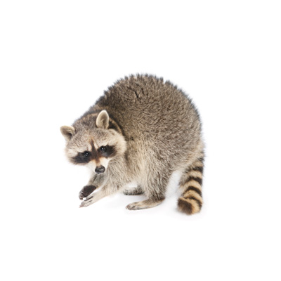 image of Raccoon Picture for Identification Purposes