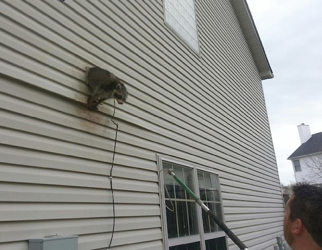 image of Racoon in House Vent in Lexington