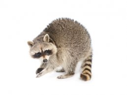 Image of a Raccoon