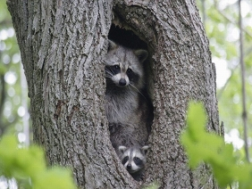 raccoons in tree hole