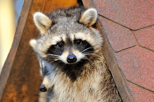 Raccoon Pictures Photo Gallery With Images Of Raccoons