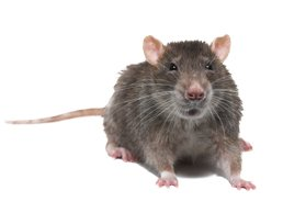 image of rat