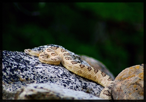 image of Great Basin Rattlesnake