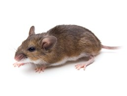 how to get rid of rodents at home