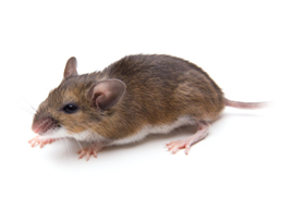 Picture of a Rodent