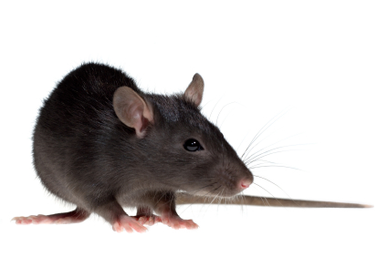 Image of a Roof Rat