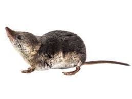 Image of Shrew