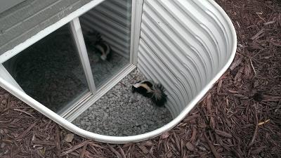 Skunks Under Home