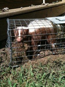 caged brown skunk