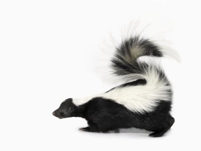 image of Side View of Skunk