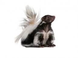 Image of Skunks