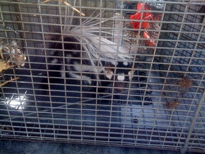 spotted skunk in trap