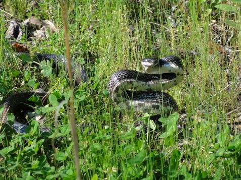 image of Large Snake in Grass