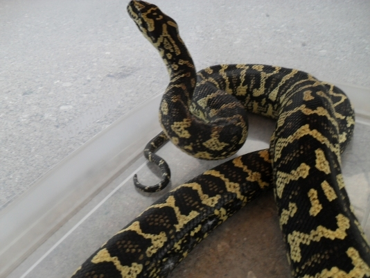 image of Carpet Python in House