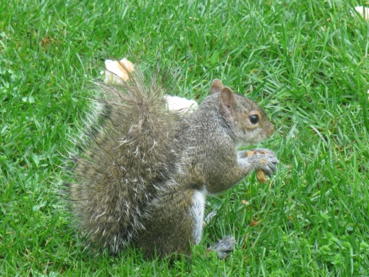 what does a grey squirrel look like?