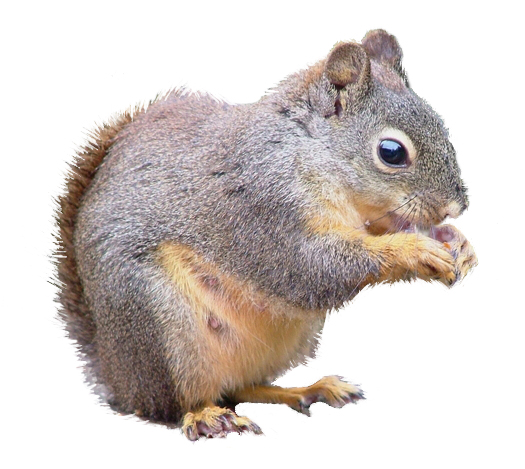 image of douglas squirrel