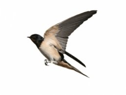 Image of a Swallow