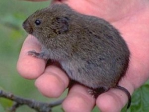 vole in a hand