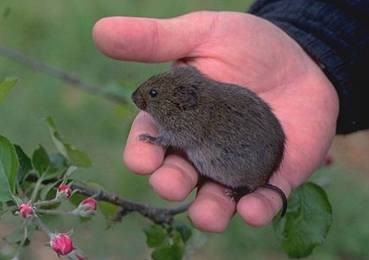 vole meadow mouse
