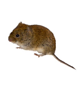 Vole Identification What Does A Look Like
