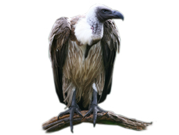 image of a vulture