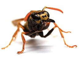 Image of Wasps