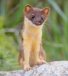 Long Tailed Weasel for Identification Purposes