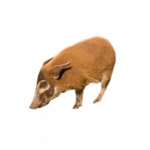 image of Wild Hog Pictures