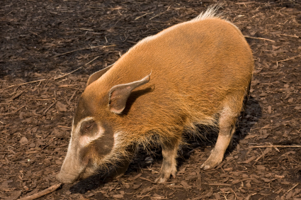 Wild Hog Foraging for Food