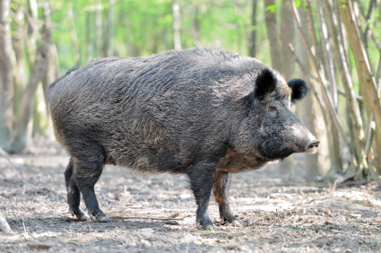Wild Hog in Woods