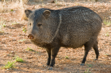 picture of a wild hog in the yard