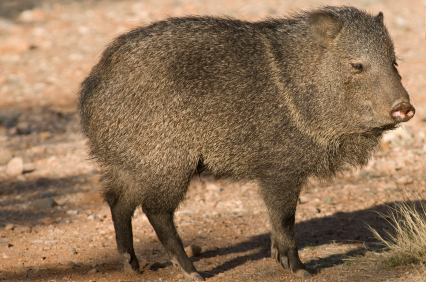 Wild Hog for Identification Purposes