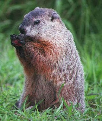 image of Woodchuck Eating