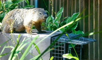 image of Woodchuck on Trap