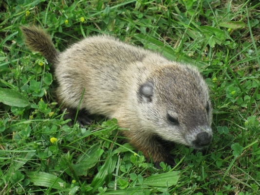image of Baby Woodchuck