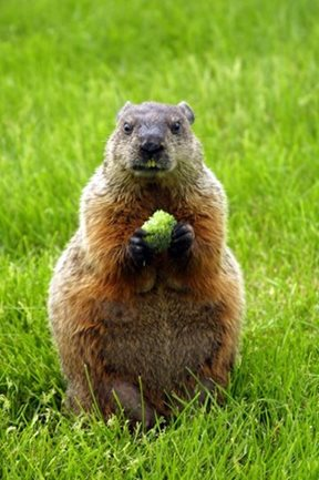 woodchuck foraging