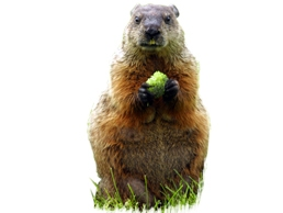 image of Woodchuck in Field