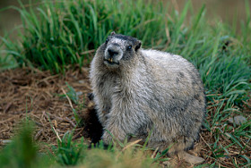 image of Woodchuck in Yard