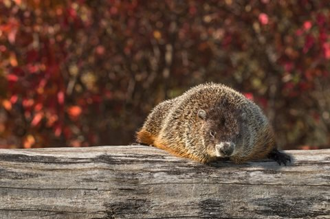 image of Woodchuck on Log