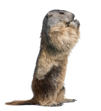 image of a woodchuck