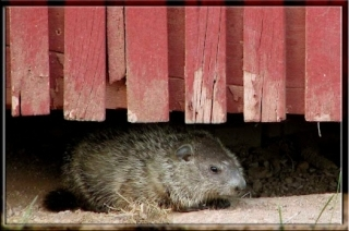 image of Woodchuck Under House