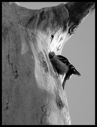 image of Downy Woodpecker in Tree