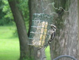 image of Woodpecker at Suet Feeder