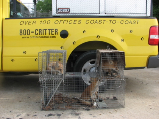 Foxes Removed in Chesapeake