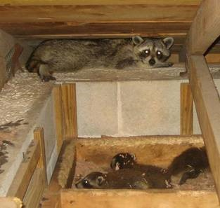 image of female raccoon in attic with offspring