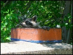 image of raccoon leaving a chimney