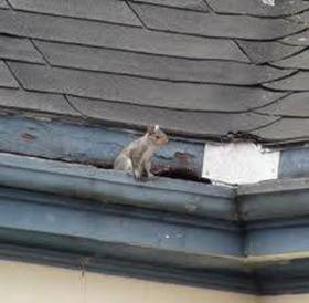 image of squirrel entry in fascia