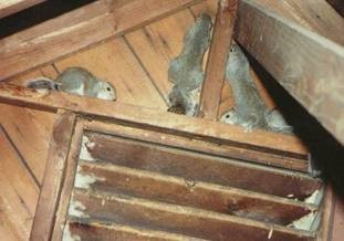 image of squirrels in attic