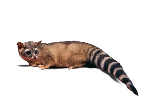 Image of Ring-Tailed Cat